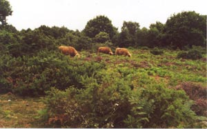Highland Cattle on the Heath